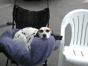 Nitro Dalmation Dog
